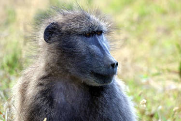 Baboon by I-Heart-Photos