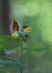 Frauenschuh,   Cypripedium calceolus by dreieinhalb