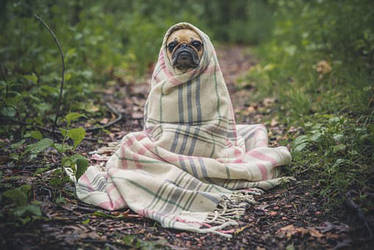 Pugs-Life Camping!! by Dog-Lovers--Club
