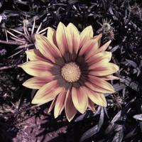 Flower by darnow