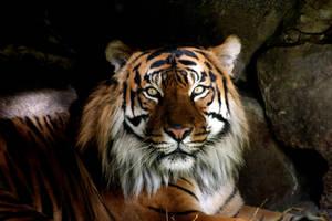 Sumatran Tiger by maddog1138