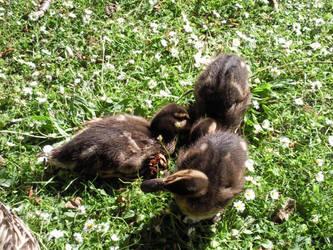 Ducklings by elysiaIvy