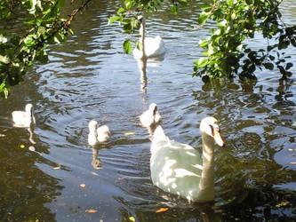 Swan family by elysiaIvy
