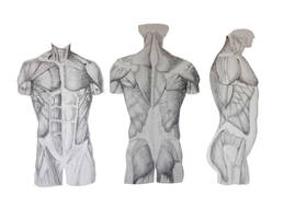 Torso muscle reference by Leland-Doodles
