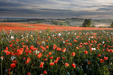 Poppy Field by monosolo