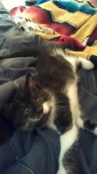 Angel my new kitten by analovecatdog