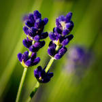 Lavender III by kereszteslp