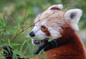 Hungry Red Panda by daniellepowell82