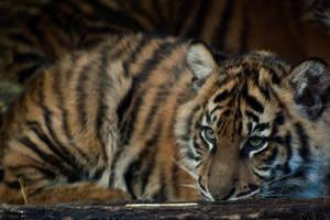 Cute Tiger Cub by daniellepowell82