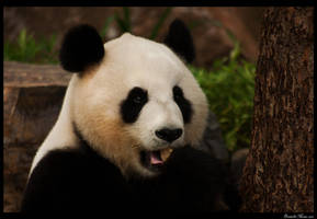 Panda Pose by daniellepowell82