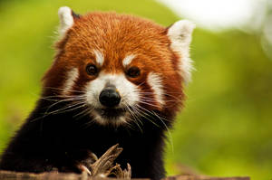 Red Panda Portrait by daniellepowell82