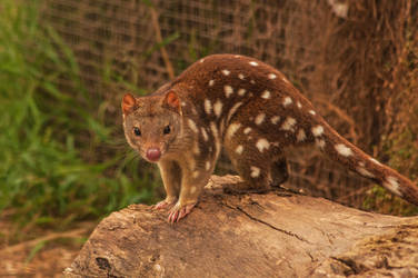 Quoll by daniellepowell82