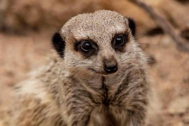 Meerkat by daniellepowell82