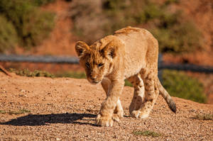 Lion Cub 3 by daniellepowell82