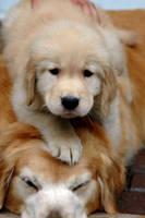 Small Dog on big Dog by CrazyHuy
