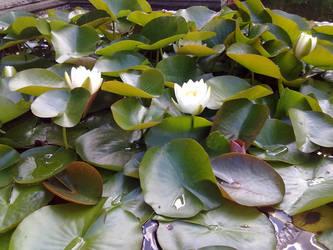 Water Lily by Kitadashi