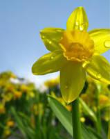 daffodil by dorkfish03x04