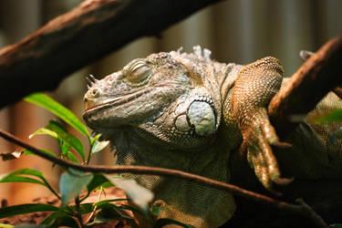 Iguana iguana by pilwe