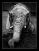The Elephant by erra