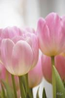 Tulips by WALKING-GIRL