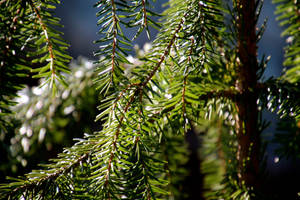 the little fir tree by minamiko