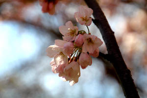 Cherry blossoms 2 by minamiko