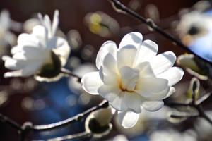 Magnolia (Magnolia stellata) by minamiko