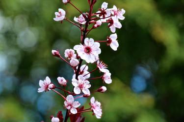 Cherry plum (Prunus cerasifera) by minamiko