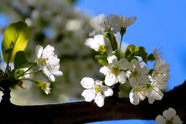 Crabapple blooms by minamiko