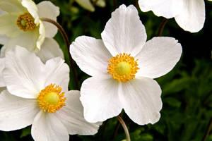 anemone by minamiko