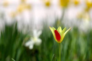 lone tulip by minamiko