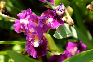 Purple Iris by minamiko