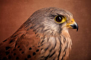 Mr. Kestrel by zoldszorny