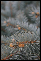 Pine in the winter by Roland3791