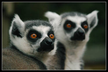 NIKON - lemurs - couple by jerry486