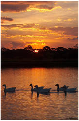 Geese Gathering for the night. by Mantori