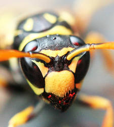 portrait of a wasp by AnjaSchlegelmilch