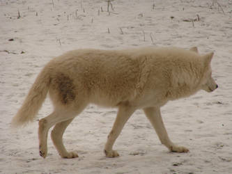 Beauty in Motion - Arctic Wolf by roamingtigress