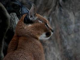 Tufted Ears - Caracal by roamingtigress