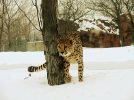 Intensity - Cheetah by roamingtigress