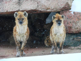 Two of a kind - Spotted Hyenas by roamingtigress