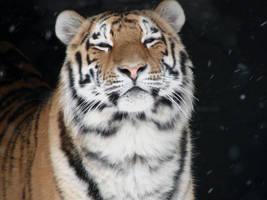 Smug - Siberian Tiger by roamingtigress