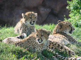 Spots run in the family by roamingtigress