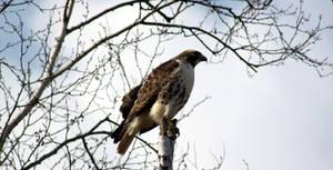 The Hawk by roamingtigress
