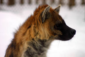 The Hyena's Winter by roamingtigress