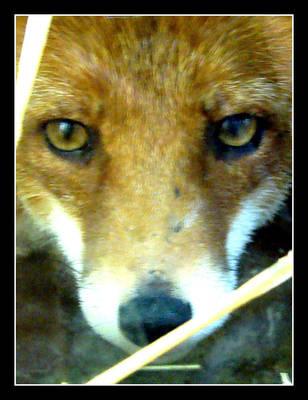 Eyes of the fox by keitaseb