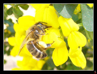 A bee is drinking by keitaseb