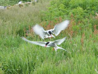 Sandwich Terns on the Farne islands by johnrichards679