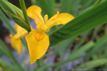Yellow  Flower #1 [Germany, Bavaria, Flower] by iikkiikkii