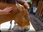 Petting a Przewalski Horse by AngelOfDarkness089